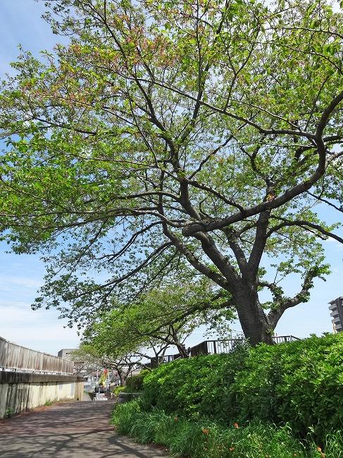 隅田川沿いの遊歩道(桜並木)