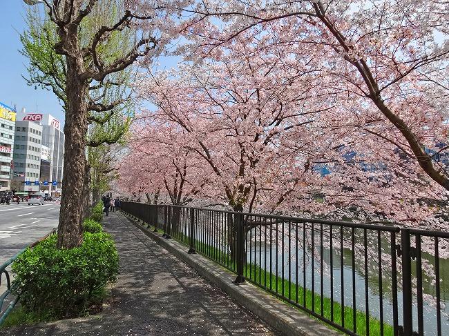 市ヶ谷濠の桜