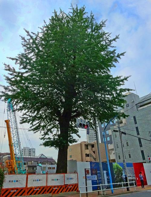 既存樹の銀杏