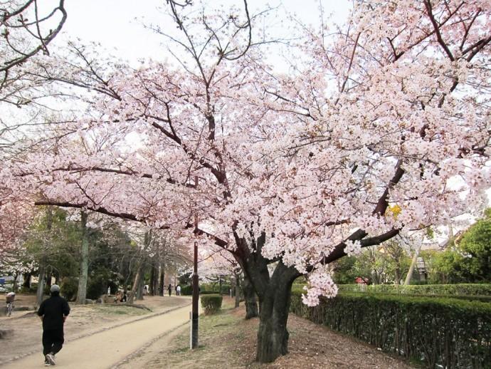 元茨木川緑地_桜